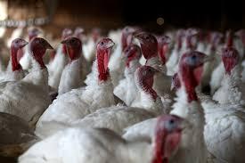 did your thanksgiving turkey take any antibiotics the salt npr