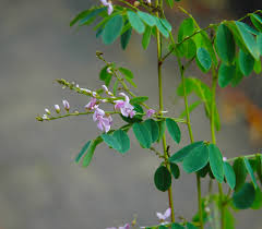australis plants australian native plants native indigo butterfly host plants as seen on abc gardening