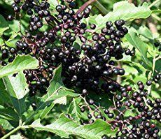the 25 best elderberry shrub ideas on sambucus black