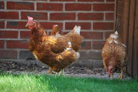 british hen welfare trust gives farmers tips to keep poultry calm