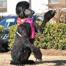 belgian sheepdog pros and cons choosing a service dog breed