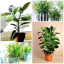 plants suitable for office