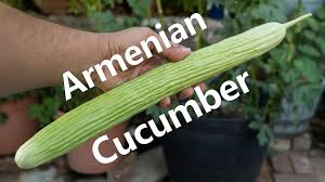 growing armenian cucumbers in containers youtube
