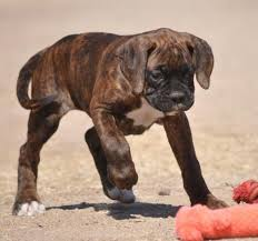 boxer dog with full tail best 25 boxers for sale ideas only on pinterest boxer dogs for