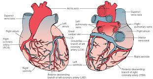 External Heart Anatomy The External Structure Of The Heart Human Anatomy Charts
