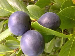 Blackmoor Fruit Trees - plum learn 2 grow plum tree www growplants org growing plum