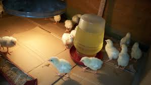 raising chickens in the philippines twenty day old youtube