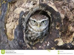owl hiding in in tree stock photo image of prey