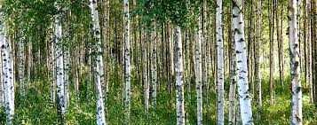 symbolic meaning of birch facts symbolic meanings by