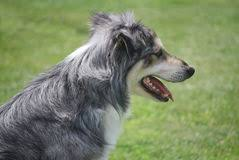 australian shepherd gray australian shepherd profile stock photos images u0026 pictures 87