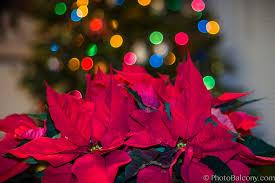 poinsettia in front of christmas tree photobalcony