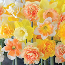 narcissus u0027citrus sorbet u0027 daffodil bulbs thompson u0026 morgan
