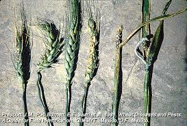 Types Of Bacterial Diseases In Plants - guide to wheat diseases and pests