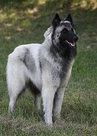 belgian sheepdog akc tervuren dog wikipedia