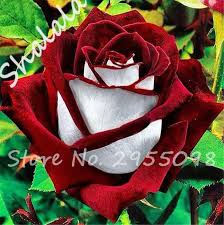color roses 2017 new 20 pcs two color roses flower seeds rosas gorgeous