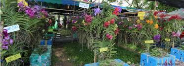 orchid plants for sale orchid plants for sale