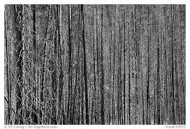 black and white picture photo burned tree trunks kootenay