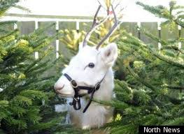 white reindeer could well be the christmassiest thing
