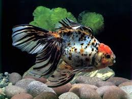 freshwater fish wallpaper wallpapersafari