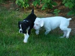 boxer dog breeders near me northwoods boxers
