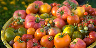 planting and caring for tomatoes in the home garden u2014 portland