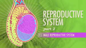 Male Anatomy Video Reproductive System Part 2 Male Reproductive System Crash