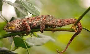 free photo chameleon lizard reptile free image on pixabay