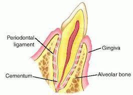 Dog Tooth Anatomy Periodontium Gingiva Periodontal Ligament Alveolar Bone