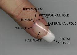 understanding your natural nails