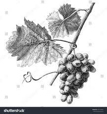 illustration grapes leaves on light background stock vector