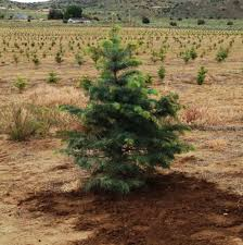 pumpkin patch christmas trees in sparks nv