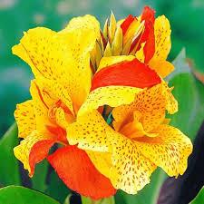Canna Lily Canna Lily Bulbs