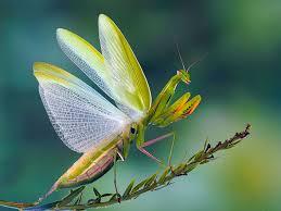 praying mantis ezgro garden