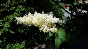 ivory silk tree lilac care managing problems with japanese tree
