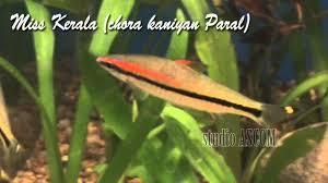 miss kerala ornamental fish