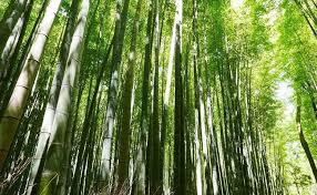 https i ndtvimg i 2017 11 bamboo 650x400 615