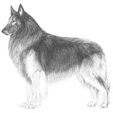belgian sheepdog club of america national specialty 27 best belgian tervuren images on pinterest the world fans and