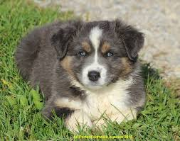 double r australian shepherds faithwalk aussies color genetics
