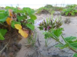 native australian flowering plants free images beach sand leaf flower food herb produce