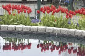 Skagit Valley Tulip Festival Bloom Map Tulip Festival Continues In Skagit Entertainment Goskagit Com