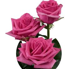 hot pink roses choose 500 stems roses at wholesale