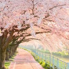 best 25 pink trees ideas on pinterest blossom trees spring