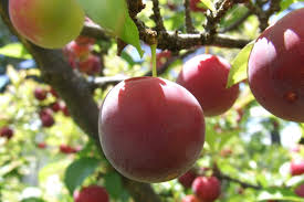 Prune Fruit Trees Start Your Own Fruit Trees U0026 Bushes Garden Culture Magazine