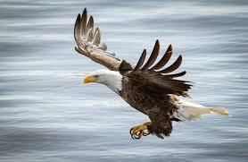 eagle bird predator wings flight wallpaper 2000x1305 309694