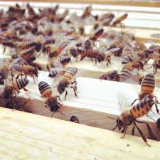 beekeeping like a how to catch a swarm of bees