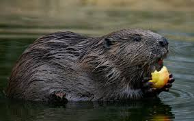 farmers u0027 warning over beaver damage as new report praises the