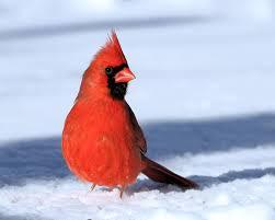 northern cardinal cardinalis cardinalis videos photos and sound