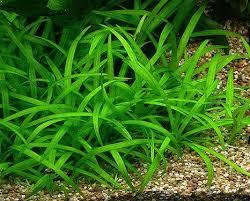 Tropical Aquatic Plants - 372 best aquatic plants images on pinterest aquatic plants