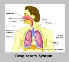 Human Anatomy Respiratory System Respiratory System Respiratory System Diagram Respiratory