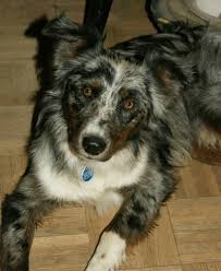 south texas australian shepherd breeders twisted branch aussie ranch about us